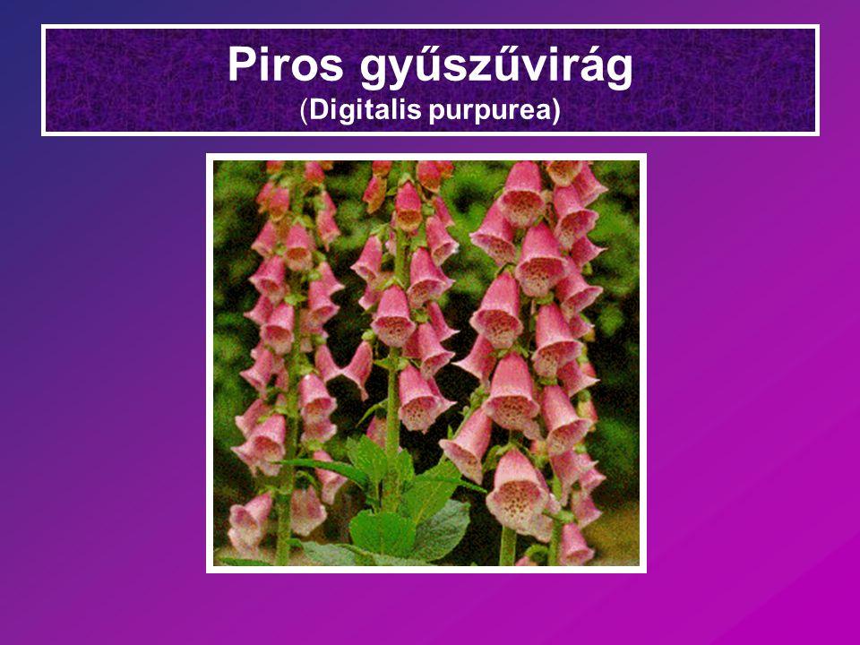 Piros gyűszűvirág (Digitalis purpurea)