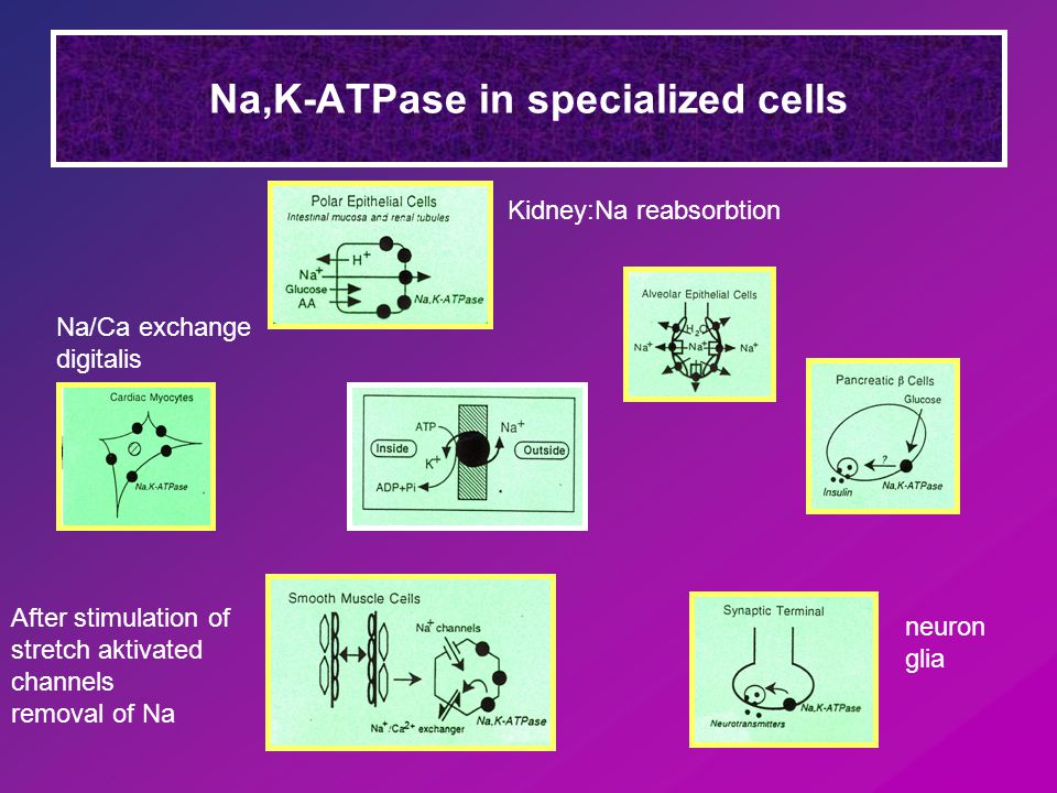 Na,K-ATPase in specialized cells Kidney:Na reabsorbtion Na/Ca exchange digitalis After stimulation of stretch aktivated channels removal of Na neuron glia