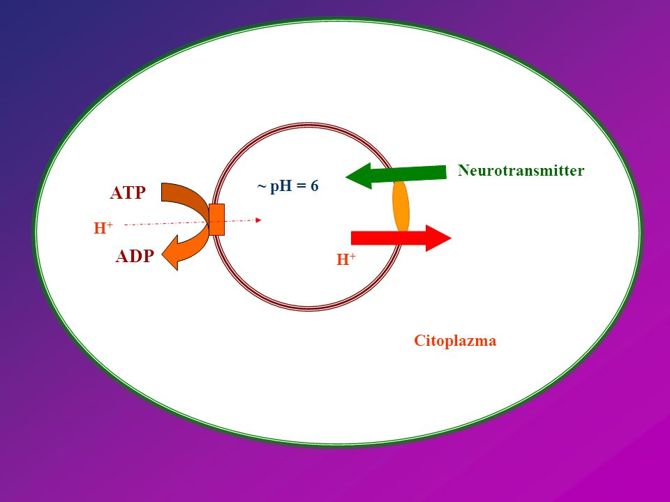 Neurotransmitter H+H+ Citoplazma ATP ADP H+H+ ~ pH = 6