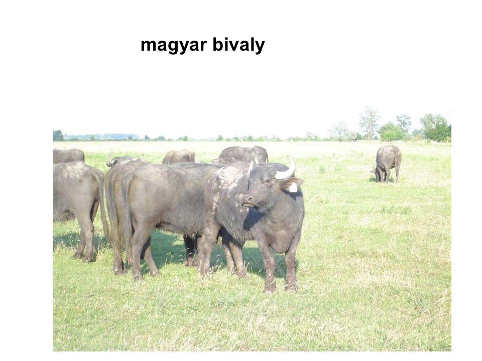 magyar bivaly