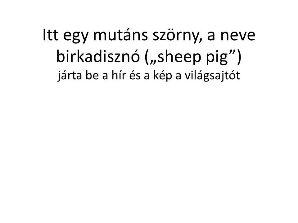 """Itt egy mutáns szörny, a neve birkadisznó (""""sheep pig"""") járta be a hír és a kép a világsajtót"""