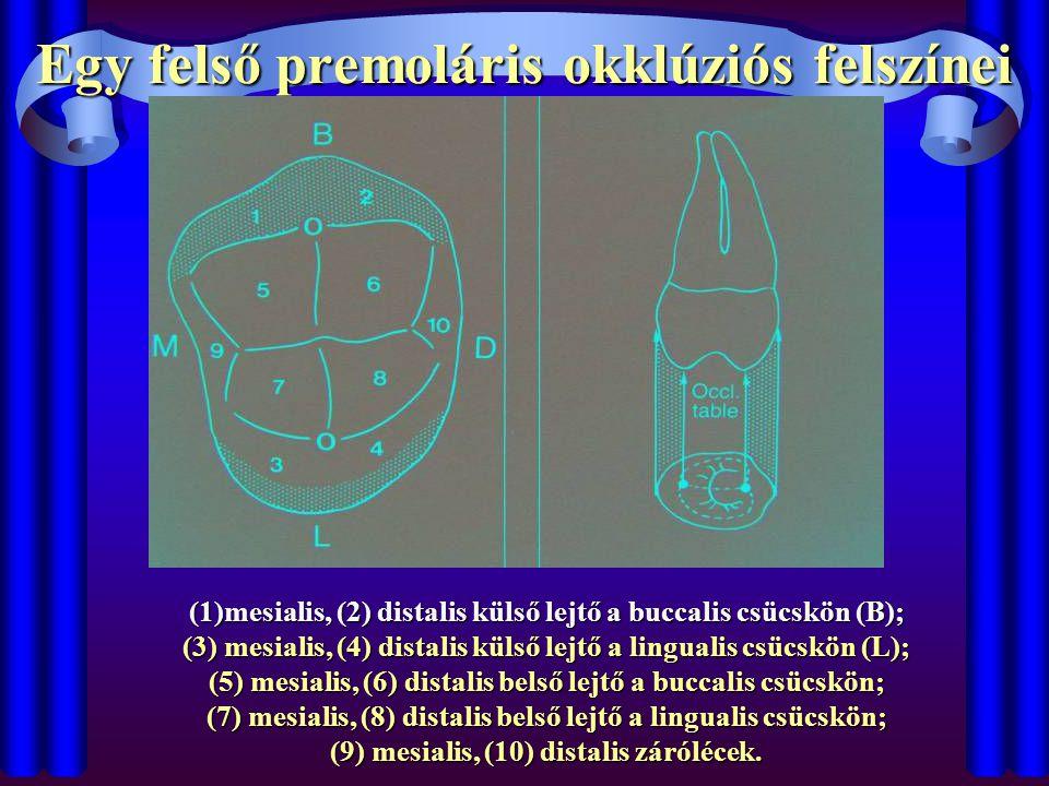 Egy felső premoláris okklúziós felszínei (1)mesialis, (2) distalis külső lejtő a buccalis csücskön (B); (3) mesialis, (4) distalis külső lejtő a lingu