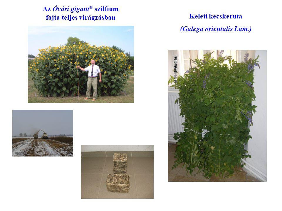 Keleti kecskeruta (Galega orientalis Lam.) Az Óvári gigant ® szilfium fajta teljes virágzásban