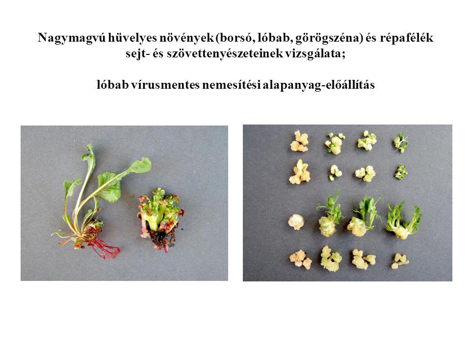Nagymagvú hüvelyes növények (borsó, lóbab, görögszéna) és répafélék sejt- és szövettenyészeteinek vizsgálata; lóbab vírusmentes nemesítési alapanyag-e