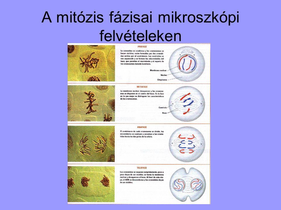 A mitózis fázisai mikroszkópi felvételeken