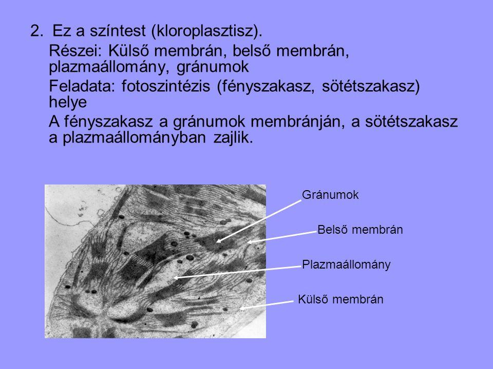 2. Ez a színtest (kloroplasztisz). Részei: Külső membrán, belső membrán, plazmaállomány, gránumok Feladata: fotoszintézis (fényszakasz, sötétszakasz)