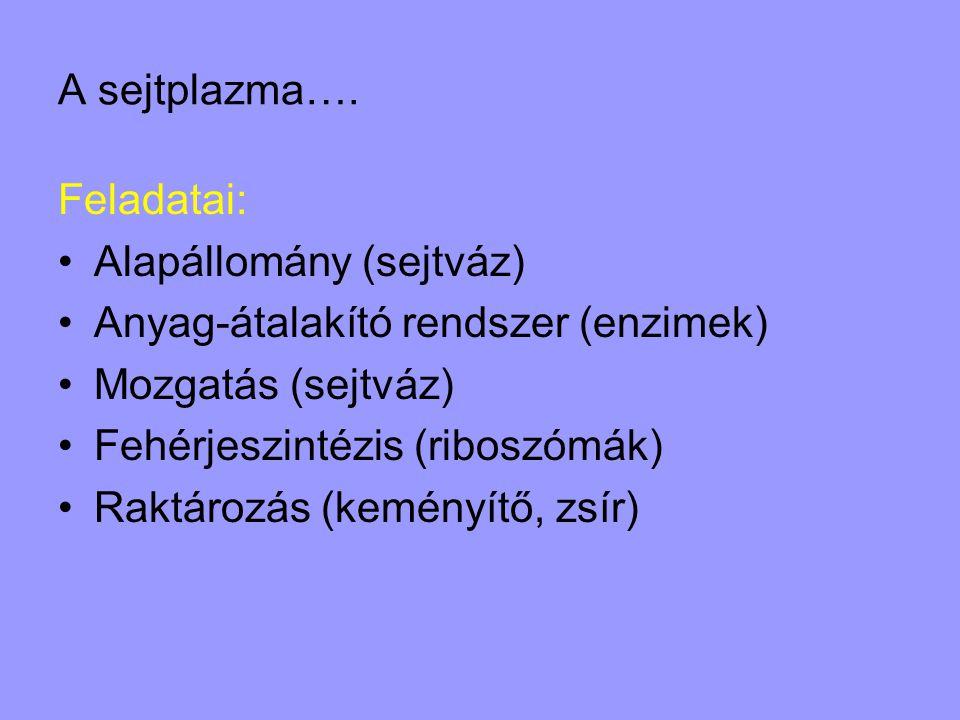 A sejtplazma…. Feladatai: •Alapállomány (sejtváz) •Anyag-átalakító rendszer (enzimek) •Mozgatás (sejtváz) •Fehérjeszintézis (riboszómák) •Raktározás (