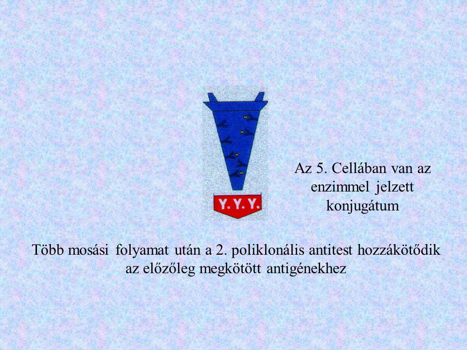 Az 5. Cellában van az enzimmel jelzett konjugátum Több mosási folyamat után a 2. poliklonális antitest hozzákötődik az előzőleg megkötött antigénekhez