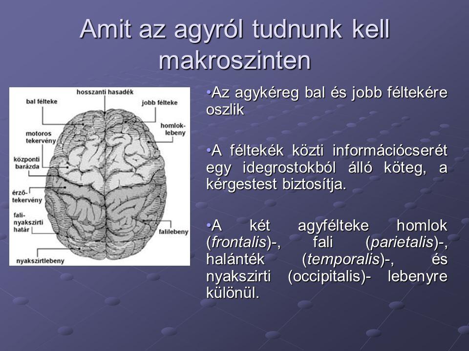 Amit az agyról tudnunk kell makroszinten •Az agykéreg bal és jobb féltekére oszlik •A féltekék közti információcserét egy idegrostokból álló köteg, a