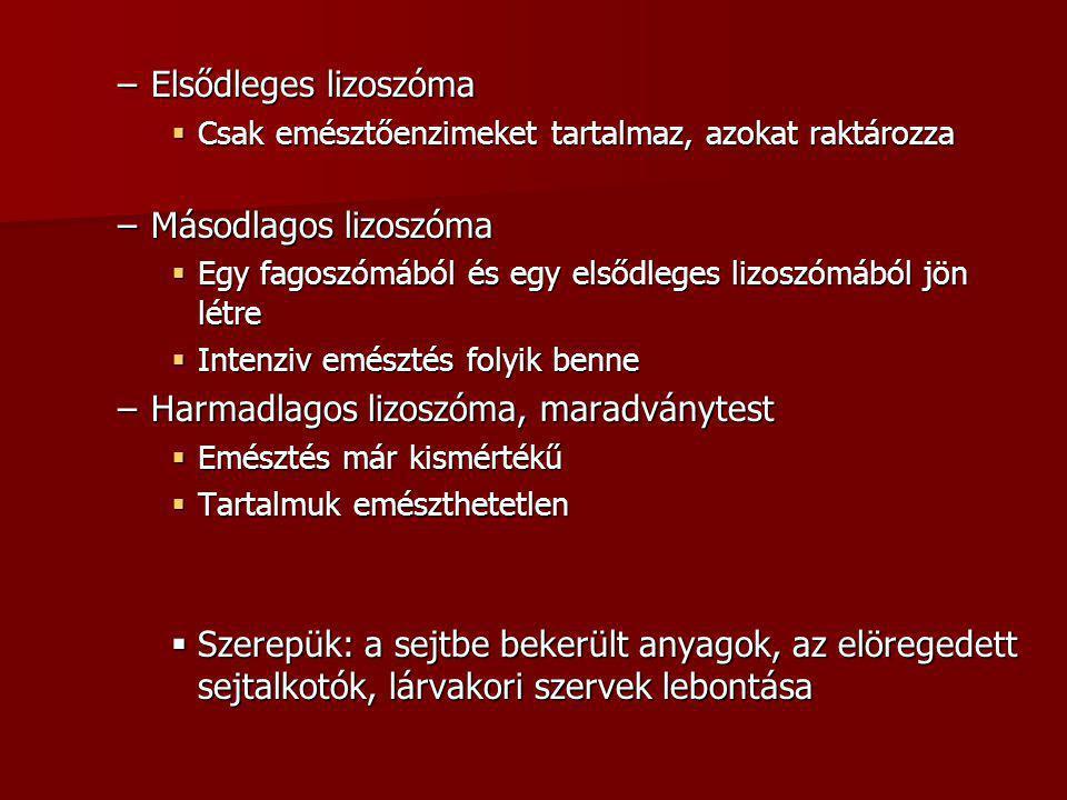 –Elsődleges lizoszóma  Csak emésztőenzimeket tartalmaz, azokat raktározza –Másodlagos lizoszóma  Egy fagoszómából és egy elsődleges lizoszómából jön