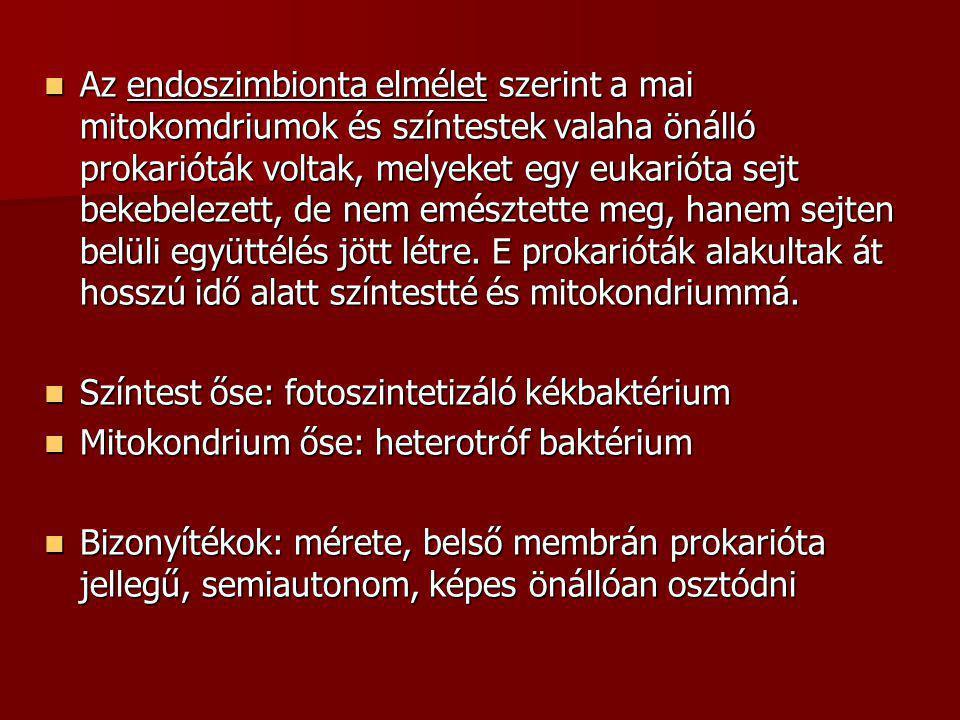  Az endoszimbionta elmélet szerint a mai mitokomdriumok és színtestek valaha önálló prokarióták voltak, melyeket egy eukarióta sejt bekebelezett, de