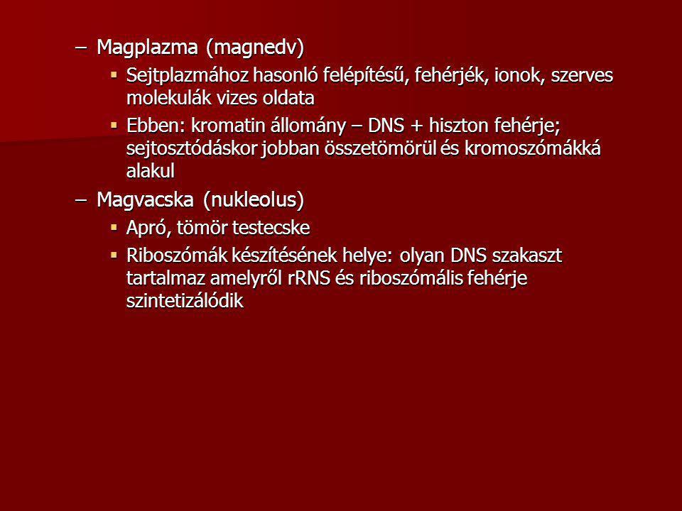 –Magplazma (magnedv)  Sejtplazmához hasonló felépítésű, fehérjék, ionok, szerves molekulák vizes oldata  Ebben: kromatin állomány – DNS + hiszton fe