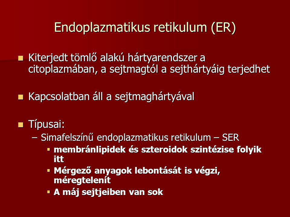 Endoplazmatikus retikulum (ER)  Kiterjedt tömlő alakú hártyarendszer a citoplazmában, a sejtmagtól a sejthártyáig terjedhet  Kapcsolatban áll a sejt
