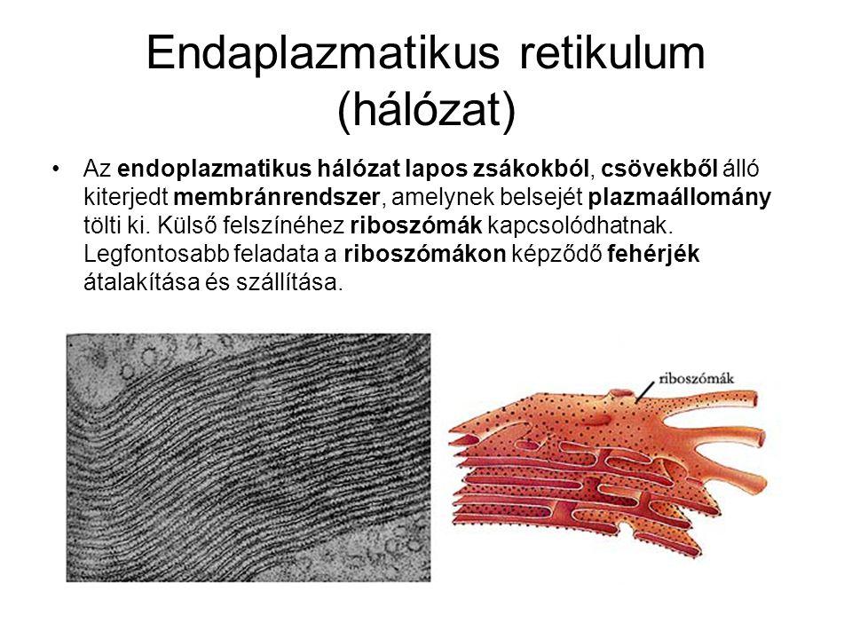 Endaplazmatikus retikulum (hálózat) •Az endoplazmatikus hálózat lapos zsákokból, csövekből álló kiterjedt membránrendszer, amelynek belsejét plazmaállomány tölti ki.