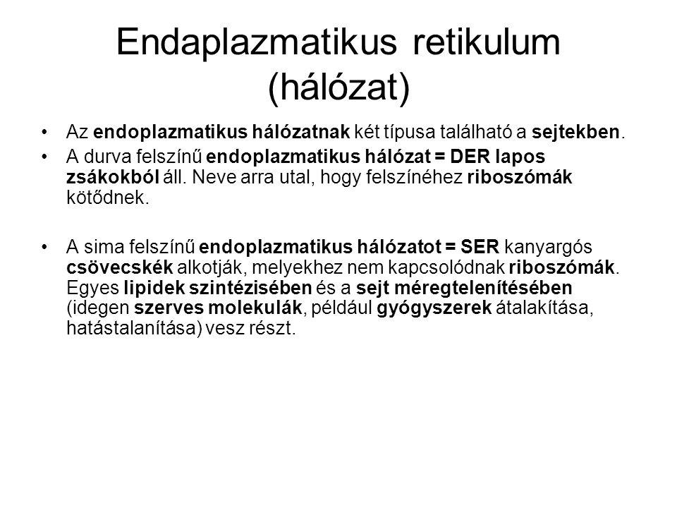 Endaplazmatikus retikulum (hálózat) •Az endoplazmatikus hálózatnak két típusa található a sejtekben. •A durva felszínű endoplazmatikus hálózat = DER l