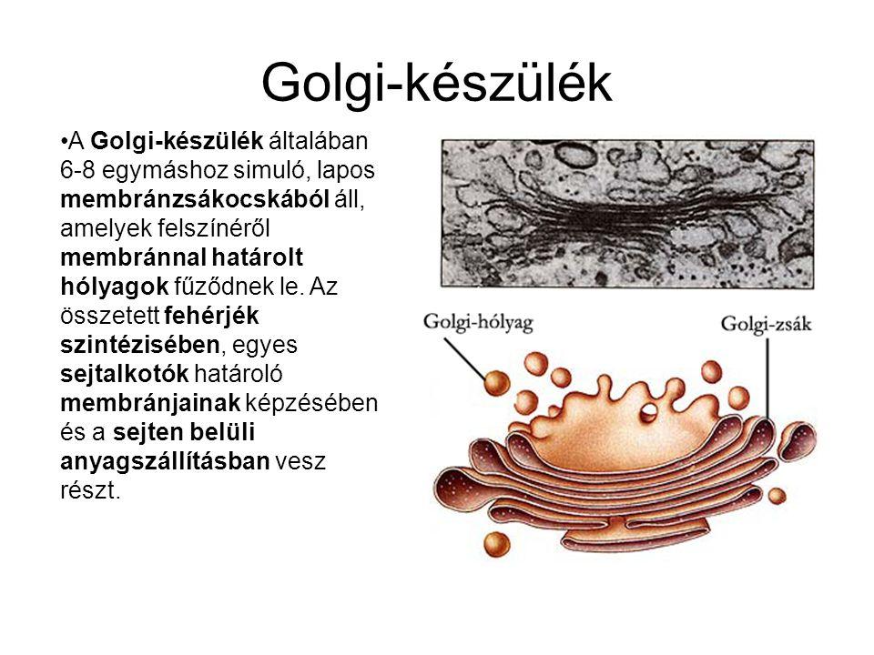 Golgi-készülék •A Golgi-készülék általában 6-8 egymáshoz simuló, lapos membránzsákocskából áll, amelyek felszínéről membránnal határolt hólyagok fűződnek le.