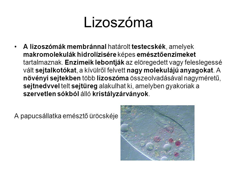 Lizoszóma •A lizoszómák membránnal határolt testecskék, amelyek makromolekulák hidrolízisére képes emésztőenzimeket tartalmaznak. Enzimeik lebontják a