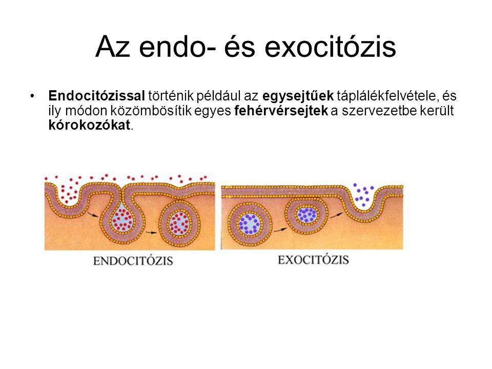 Az endo- és exocitózis •Endocitózissal történik például az egysejtűek táplálékfelvétele, és ily módon közömbösítik egyes fehérvérsejtek a szervezetbe került kórokozókat.