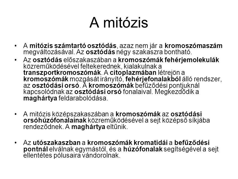 A mitózis •A mitózis számtartó osztódás, azaz nem jár a kromoszómaszám megváltozásával. Az osztódás négy szakaszra bontható. •Az osztódás előszakaszáb