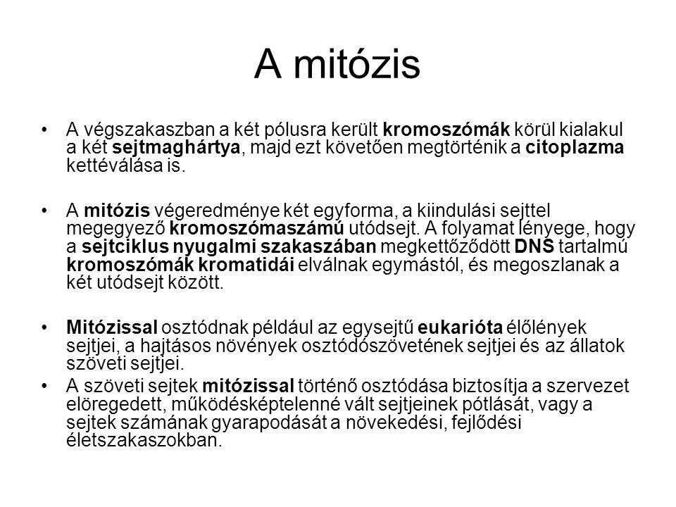 A mitózis •A végszakaszban a két pólusra került kromoszómák körül kialakul a két sejtmaghártya, majd ezt követően megtörténik a citoplazma kettéválása