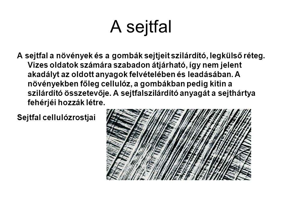 A sejtfal A sejtfal a növények és a gombák sejtjeit szilárdító, legkülső réteg. Vizes oldatok számára szabadon átjárható, így nem jelent akadályt az o