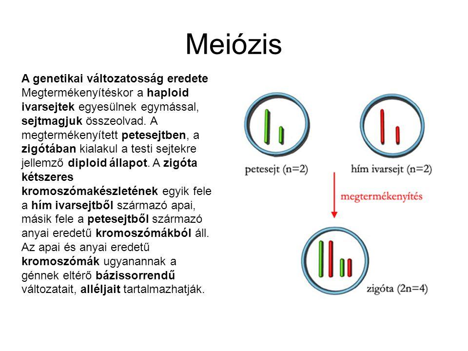 Meiózis A genetikai változatosság eredete Megtermékenyítéskor a haploid ivarsejtek egyesülnek egymással, sejtmagjuk összeolvad. A megtermékenyített pe