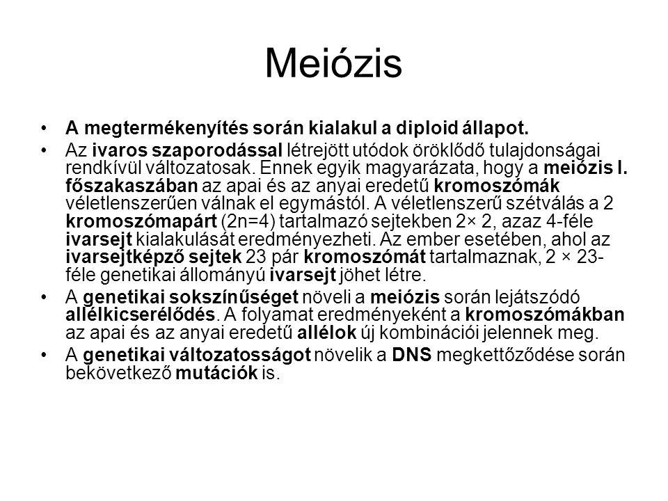 Meiózis •A megtermékenyítés során kialakul a diploid állapot. •Az ivaros szaporodással létrejött utódok öröklődő tulajdonságai rendkívül változatosak.