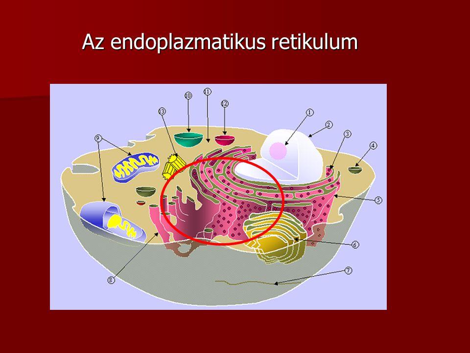 Az endoplazmatikus retikulum
