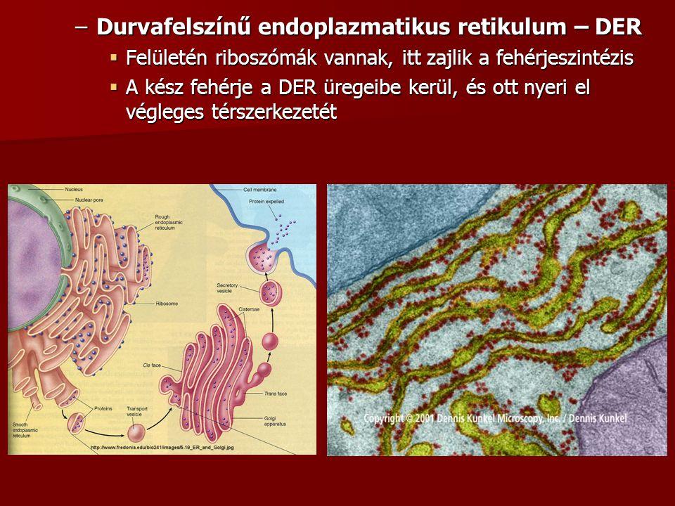 –Durvafelszínű endoplazmatikus retikulum – DER  Felületén riboszómák vannak, itt zajlik a fehérjeszintézis  A kész fehérje a DER üregeibe kerül, és