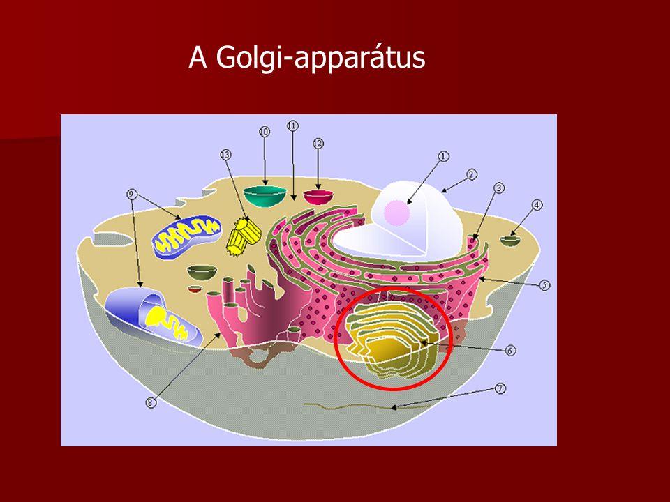 A Golgi-apparátus