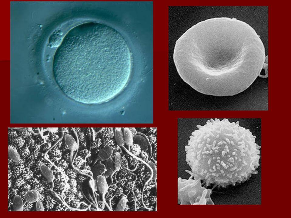 Sejtmembrán  Sejtet határoló hártyarendszer, elválasztja a sejten belüli teret, de össze is köti a sejten kívülivel  Alkotórészei: –Foszfatidok:  2 rétegben, apoláris részeikkel fordulnak egymás felé  Az egyes molekulák oldalirányban könnyen mozognak –Fehérjék  Lehetnek felszínen elhelyezkedők, bemerülők, vagy a membránt teljesen átérők –Szénhidrátok:  Fehérjékhez vagy lipidekhez kapcsolódnak  A hártya külső felületén helyezkednek el