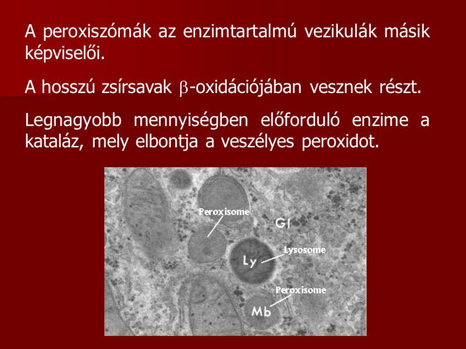 A peroxiszómák az enzimtartalmú vezikulák másik képviselői. A hosszú zsírsavak  -oxidációjában vesznek részt. Legnagyobb mennyiségben előforduló enzi
