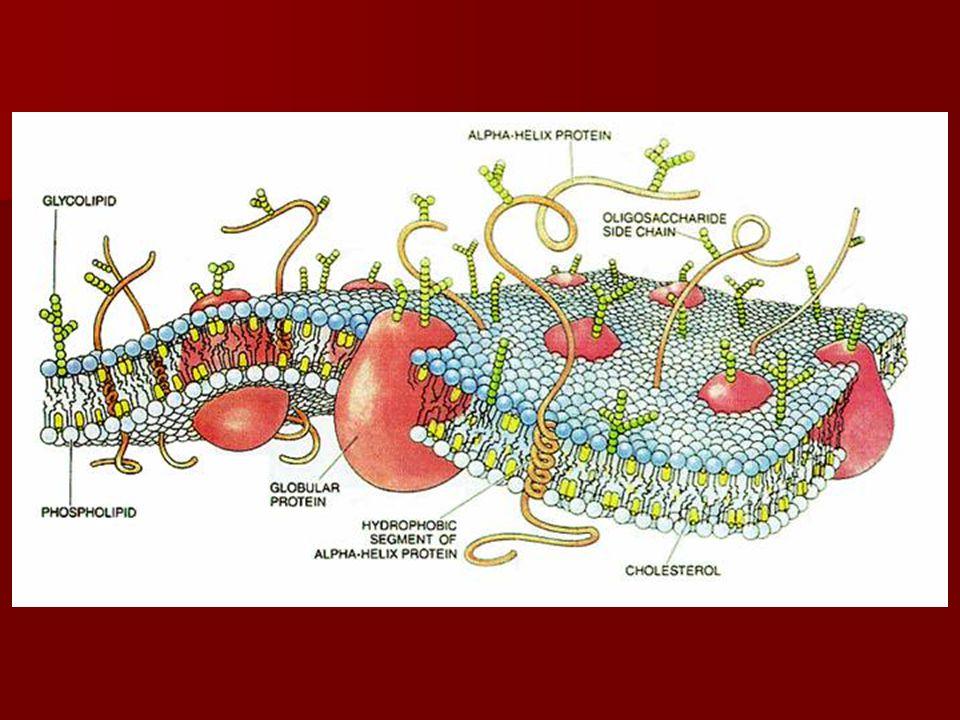  A membránok specifitását a fehérjék és a szénhidrátok adják  A membránok vékonyak, nagy felületűek, rugalmas, hajlékony tulajdonságúak  Típusai: –Határoló membrán: sejthártya –Belső membránok = kompartimentumok : ER, Golgi- készülék, lizoszómák, vakuolumok  A membránokon keresztül zajlanak a sejt transzportfolyamatai!