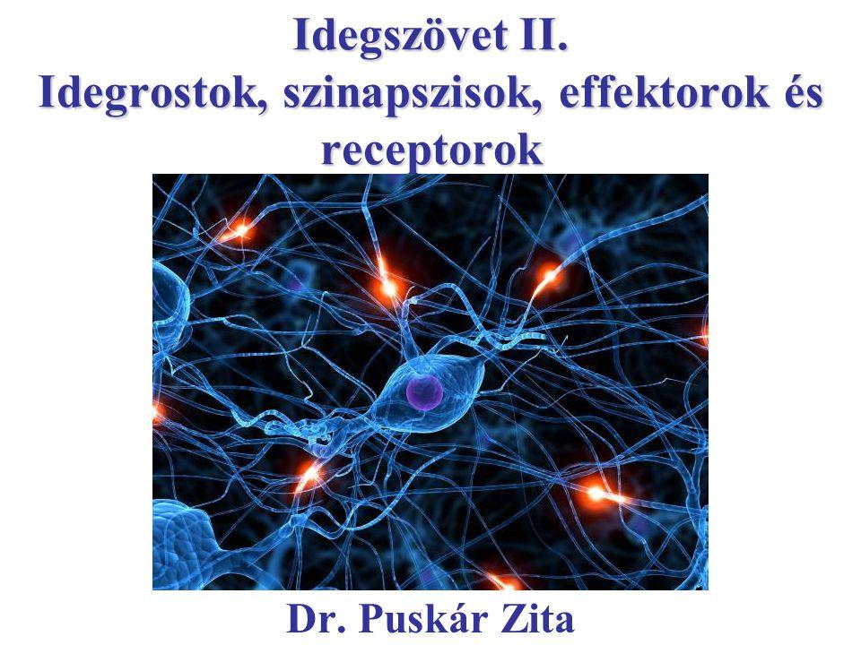 Idegszövet II. Idegrostok, szinapszisok, effektorok és receptorok Dr. Puskár Zita