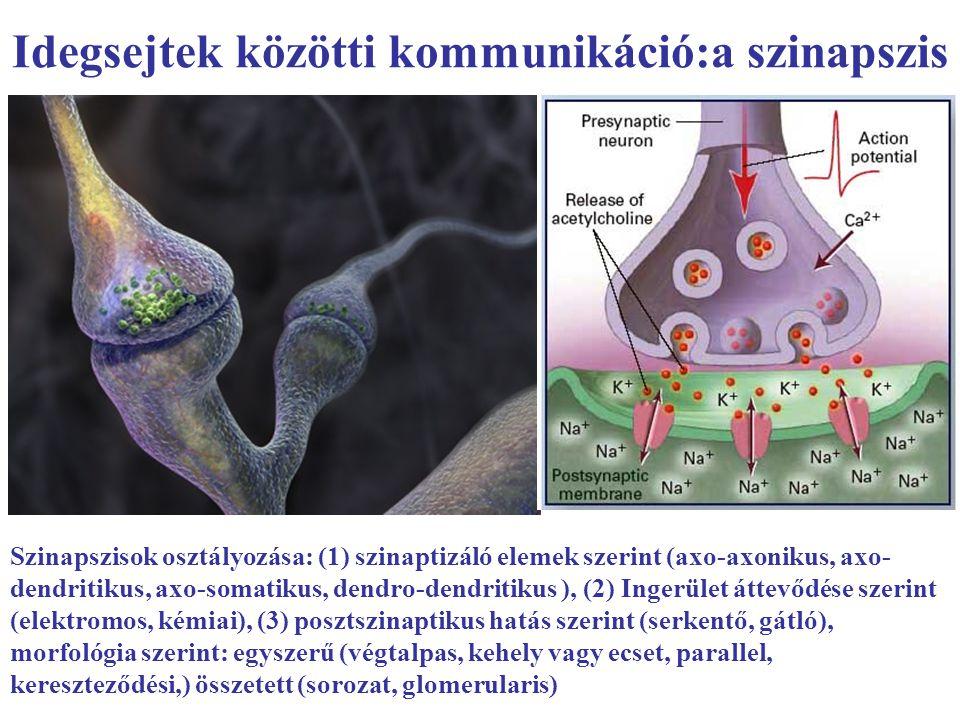 Idegsejtek közötti kommunikáció:a szinapszis Szinapszisok osztályozása: (1) szinaptizáló elemek szerint (axo-axonikus, axo- dendritikus, axo-somatikus