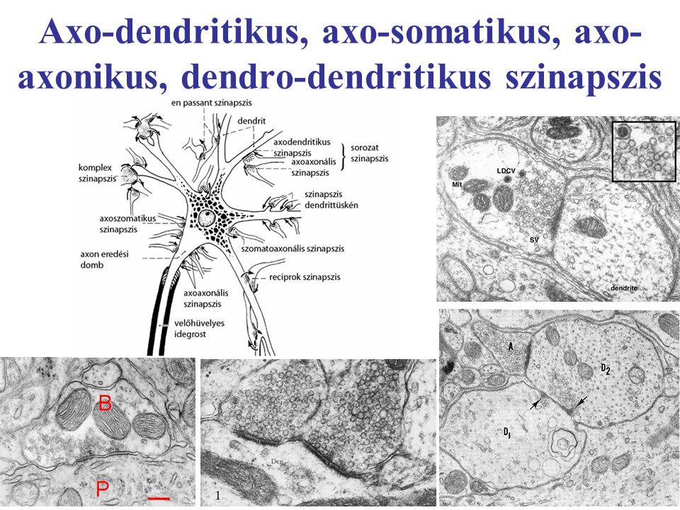 Axo-dendritikus, axo-somatikus, axo- axonikus, dendro-dendritikus szinapszis