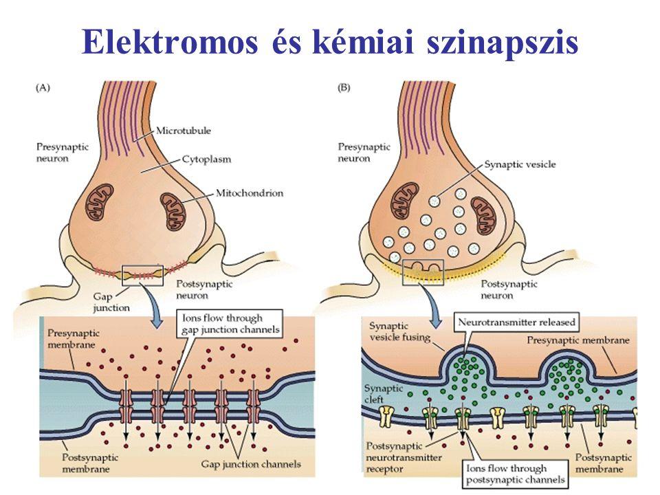 Elektromos és kémiai szinapszis