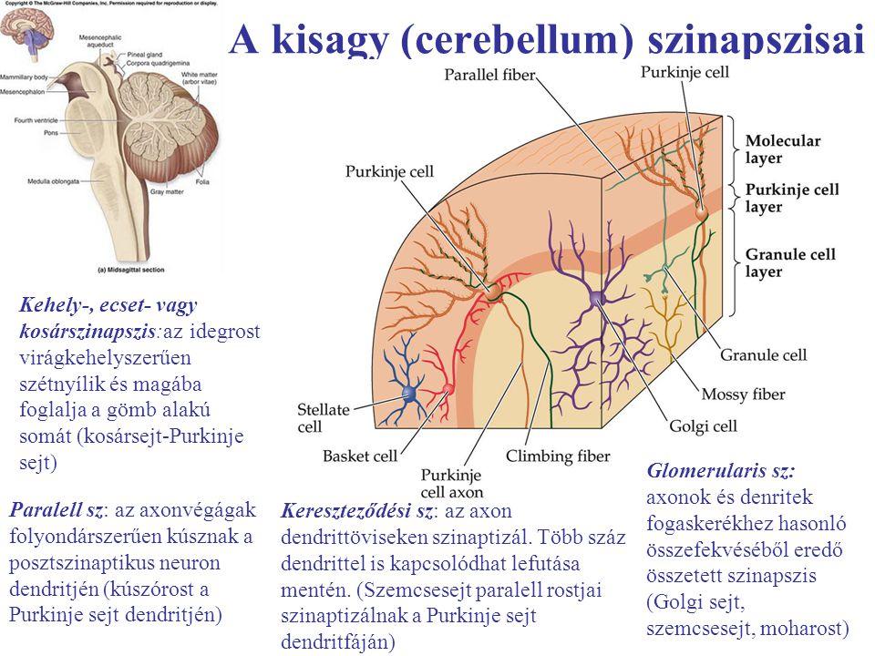 A kisagy (cerebellum) szinapszisai Kehely-, ecset- vagy kosárszinapszis:az idegrost virágkehelyszerűen szétnyílik és magába foglalja a gömb alakú somá