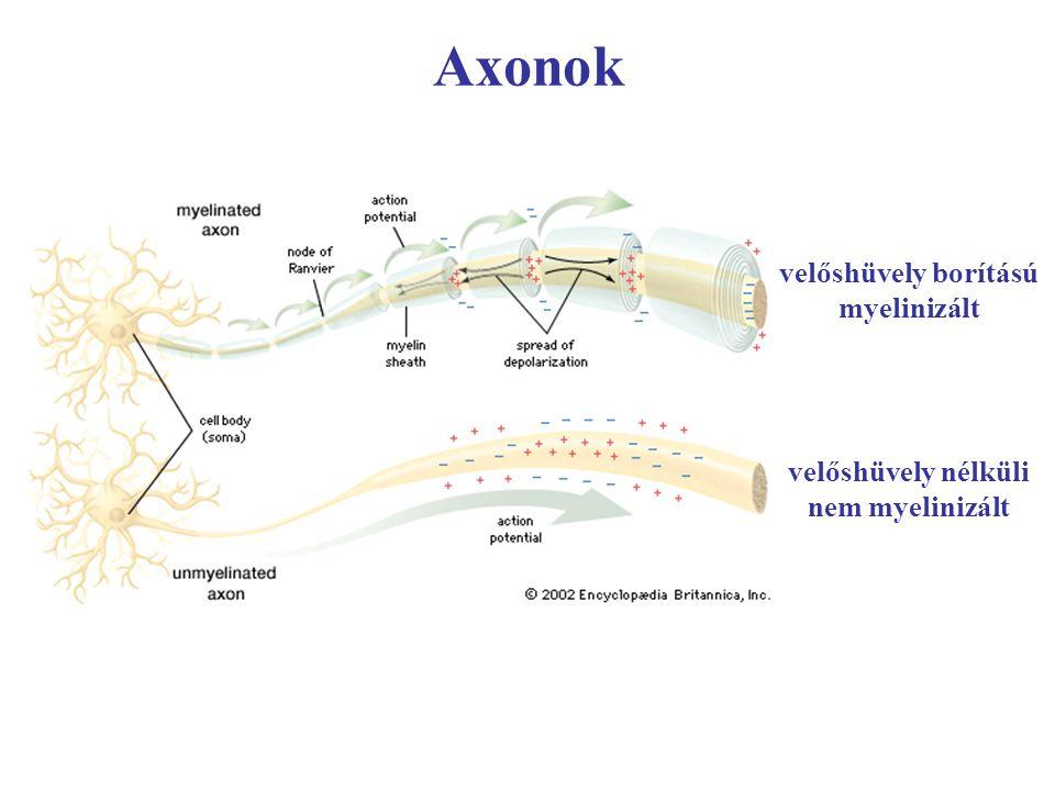 Axonok velőshüvely borítású myelinizált velőshüvely nélküli nem myelinizált