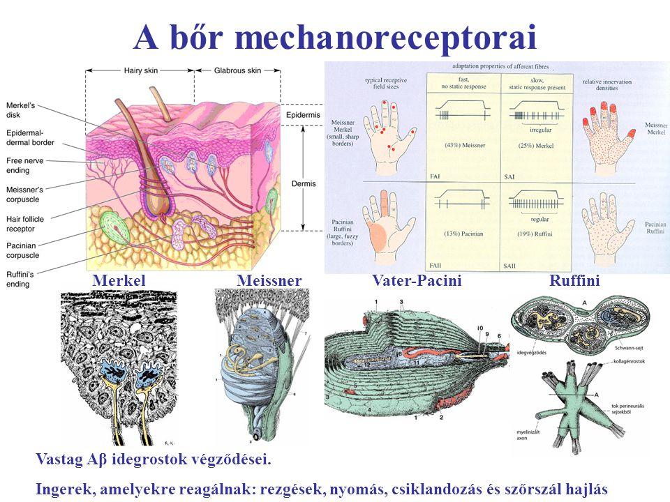 A bőr mechanoreceptorai Vastag Aβ idegrostok végződései. Ingerek, amelyekre reagálnak: rezgések, nyomás, csiklandozás és szőrszál hajlás Merkel Meissn