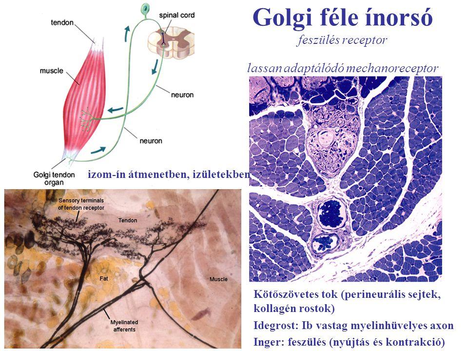 Golgi féle ínorsó feszülés receptor lassan adaptálódó mechanoreceptor izom-ín átmenetben, izületekben Kötőszövetes tok (perineurális sejtek, kollagén