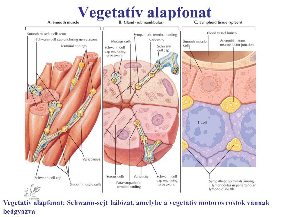 Vegetatív alapfonat mirigyek Vegetatív alapfonat: Schwann-sejt hálózat, amelybe a vegetatív motoros rostok vannak beágyazva
