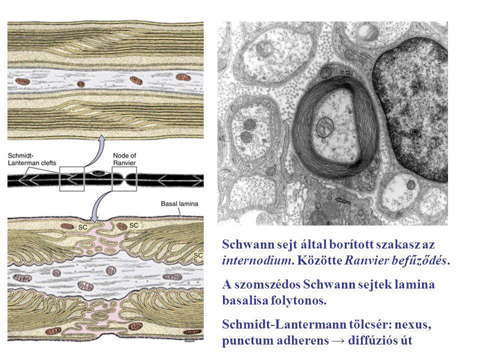 Schwann sejt által borított szakasz az internodium. Közötte Ranvier befűződés. A szomszédos Schwann sejtek lamina basalisa folytonos. Schmidt-Lanterma