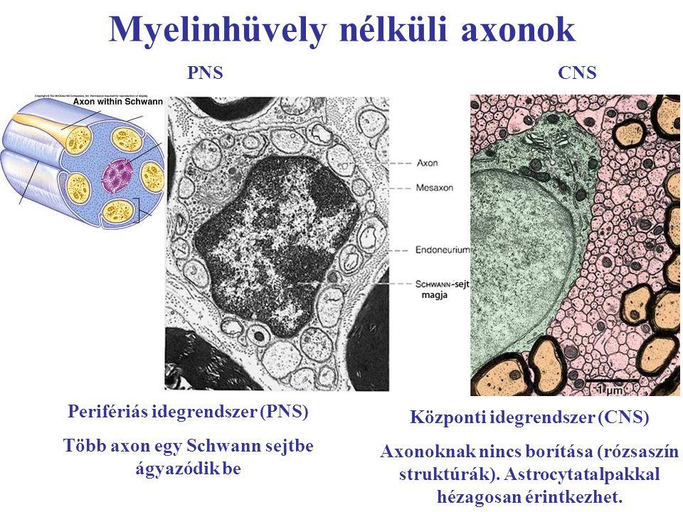 Myelinhüvely nélküli axonok PNSCNS Perifériás idegrendszer (PNS) Több axon egy Schwann sejtbe ágyazódik be Központi idegrendszer (CNS) Axonoknak nincs