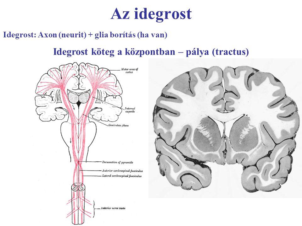 Az idegrost Idegrost: Axon (neurit) + glia borítás (ha van) Idegrost köteg a központban – pálya (tractus)
