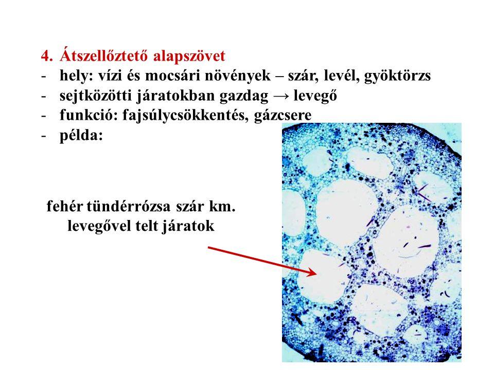 4.Átszellőztető alapszövet -hely: vízi és mocsári növények – szár, levél, gyöktörzs -sejtközötti járatokban gazdag → levegő -funkció: fajsúlycsökkenté