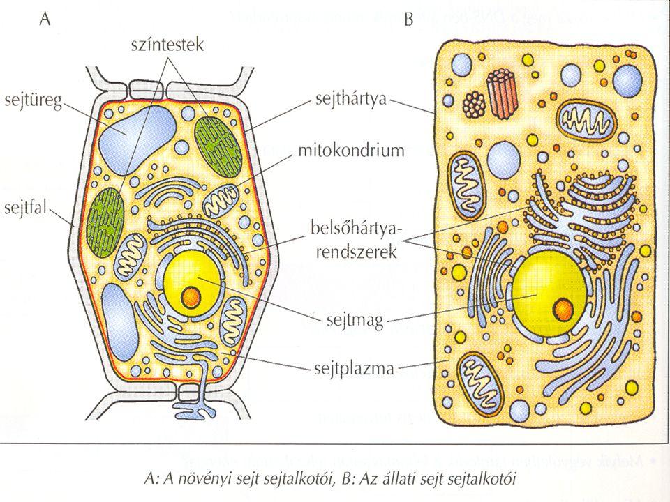 15 Sejten belüli hártyák (ER) •Az egész sejtplazmát behálózó, tömlőszerű összelapított zsákok rendszere.