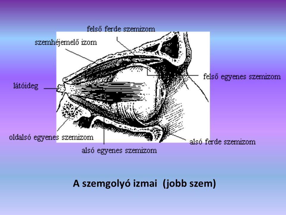 A szemgolyó izmai (jobb szem)