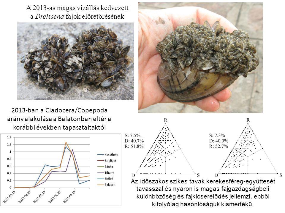 2013-ban a Cladocera/Copepoda arány alakulása a Balatonban eltér a korábbi években tapasztaltaktól Az időszakos szikes tavak kerekesféreg-együttesét t