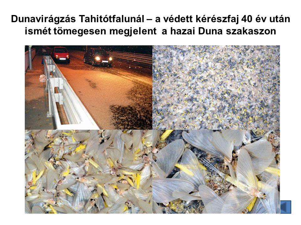 Dunavirágzás Tahitótfalunál – a védett kérészfaj 40 év után ismét tömegesen megjelent a hazai Duna szakaszon